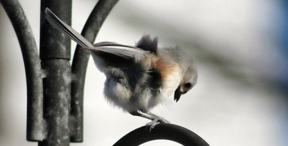 tufted-titmouse-bad-hair-day-1376345-639x588